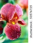 Beautiful Bearded Iris Wet From ...