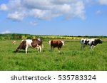 cows on a summer pasture   Shutterstock . vector #535783324
