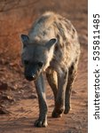 hyena in the morning at kruger... | Shutterstock . vector #535811485