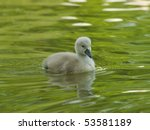 Newly Hatched Cygnet On Water