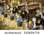 Calves In A Barn Eating Hay An...