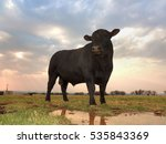 Balck Angus Bull On A Cloudy...