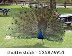 Peacock In Fota Wildlife Park...