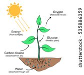 Photosynthesis Process Labelle...