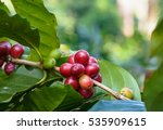 coffee plant with ripe coffee... | Shutterstock . vector #535909615