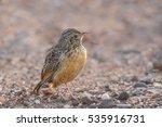 a cape clapper lark  mirafra... | Shutterstock . vector #535916731
