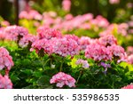 Garden Of Colorful Begonia...