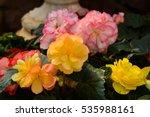 garden of colorful begonia... | Shutterstock . vector #535988161