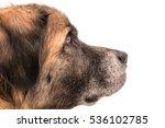 Stock photo german bear dog 536102785