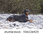 Small photo of Small Pinscher lies on rocks at the beach