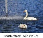 the mute swan  cygnus olor  is... | Shutterstock . vector #536145271