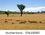 Sheep Grazing On A Farm In...