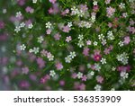 Gypsophila Flowers In Soft And...