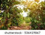 robusta coffee farm and... | Shutterstock . vector #536419867