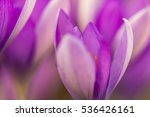 Detail of purple Crocuses blossom