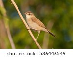 Small photo of Paddyfield Warbler (Acrocephalus agricola)