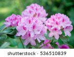 Flower Pink Rhododendron