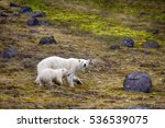 polar bears on franz joseph... | Shutterstock . vector #536539075