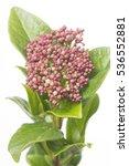 viburnum tinus macrophyllum rood | Shutterstock . vector #536552881