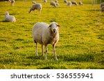 Spanish Sheep In The Fiel...