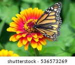 Monarch Butterfly Flower Zinnia