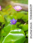 Small photo of The lotus plant is a biennial The trunk has a running rhizome or tuber Leaves grow from the trunk. The leaves grow up to be underwater. Water or above water The shape of the leaves of a multi-round