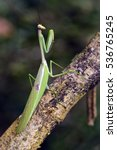 Small photo of Praying mantis or mantid, insect of the Mantidae family, sighted in remnant of Atlantic Rainforest, one of the six Brazilian biomes - Sao Paulo, SP, Brazil