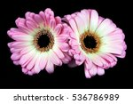 close up of pastel germini... | Shutterstock . vector #536786989