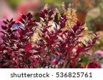 Small photo of Alternanthera bettzickiana bush red leaves background.