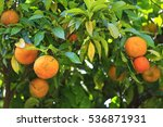 oranges grown in his garden... | Shutterstock . vector #536871931