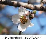 A Bee Feeding On An Almond Tre...