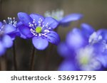 Anemone Hepatica In The Spring