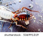 close up of molting cockroach | Shutterstock . vector #536991319