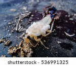 close up of molting cockroach | Shutterstock . vector #536991325