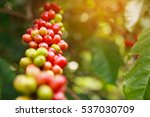 robusta coffee farm and... | Shutterstock . vector #537030709