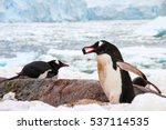 Cute Gentoo Penguin Running...