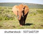 A Majestic Elephant In Addo...