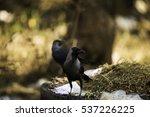 crow | Shutterstock . vector #537226225