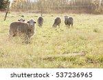 Sheep In Field  Backlight ...