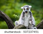 Awesome Lemur Outdoor Shot....