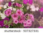 pink primula flower | Shutterstock . vector #537327331