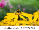 close up of honey bee on yellow ... | Shutterstock . vector #537327769
