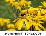 close up of honey bee on yellow ... | Shutterstock . vector #537327805