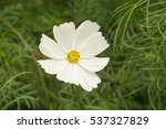 white flower on green grass... | Shutterstock . vector #537327829