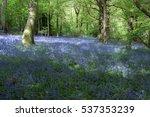 Bluebells In Staffhurst Woods...