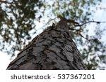 Bark Of Pine Tree With A Sky...