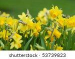Daffodils Closeup. Field With...