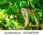 white headed capuchin in the... | Shutterstock . vector #537487039