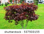 Japanese Maple In A Square....