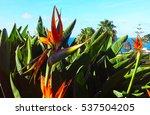 Strelitzia Reginae Flower  ...